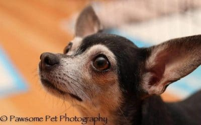 Precious Chihuahua Mama Under Care of CCRT