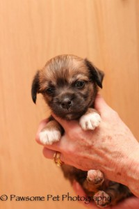 chihuahua puppy adopted