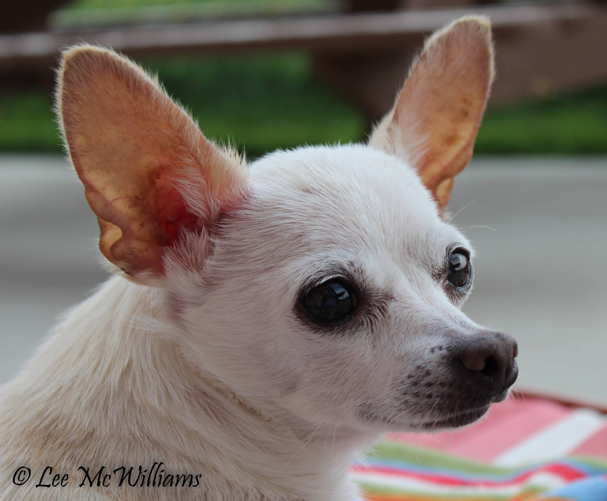 Chihuahua Esme was a Long-Term Foster with CCRT