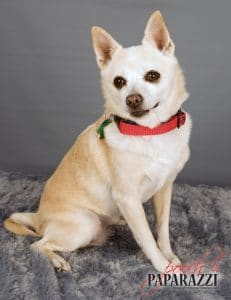 senior chihuahua adoption